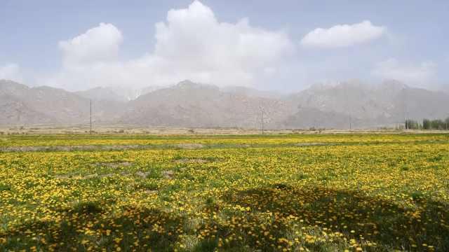 禁牧后才能见到的美景,新疆天山脚下数百亩野生蒲公英盛开