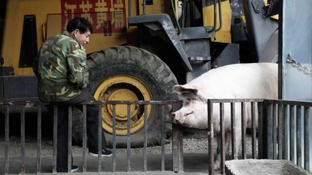 14岁猪坚强因年老衰竭死亡,3分钟回顾它的传奇经历
