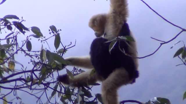 珍贵画面!监测员视频记录下西黑冠长臂猿一家三口温馨场景