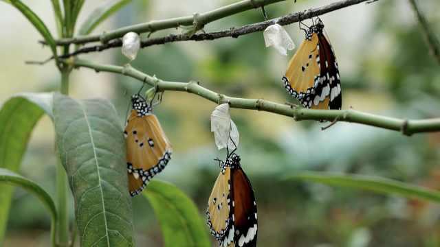 1.5亿只蝴蝶破茧而出!云南蝴蝶谷迎10年来最大规模蝴蝶爆发