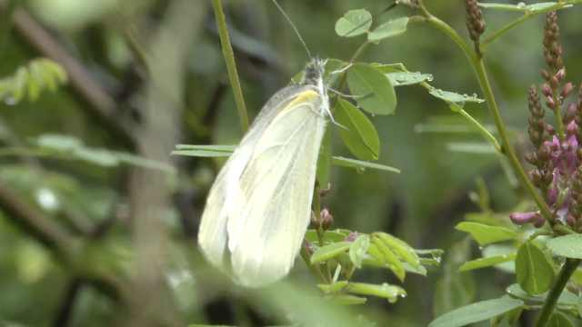 湖南金童山发现罕见新物种,世界蛉蛾科分类从7种增至8种