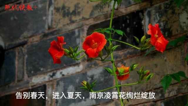 绚烂橙红!南京凌霄花承包一整个夏天
