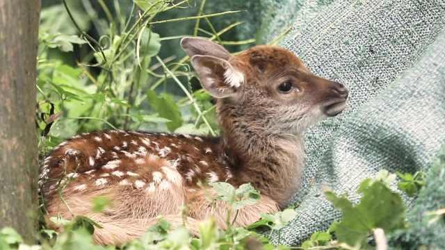 被撩到!明孝陵今年首只长生鹿宝宝诞生,命名或与朱元璋有关
