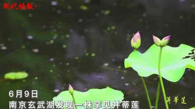 """好运""""莲莲""""!南京玄武湖又开了一株并蒂莲"""