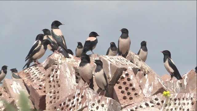 这种鸟1天吃掉180只蝗虫!新疆有351万亩草原筑巢引鸟除蝗