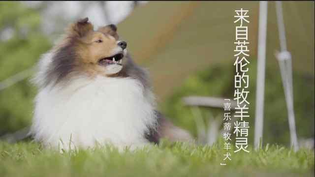 【犬猫物语】行走的犬界荷尔蒙之马琳诺斯牧羊犬