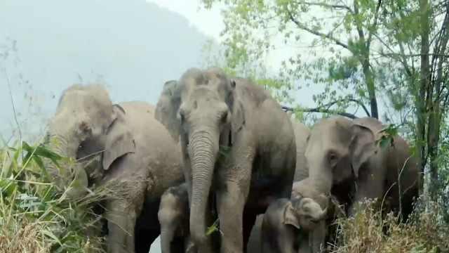 北迁野象老家附近村寨已建防象栏杆:有大象频繁造访,相处和谐