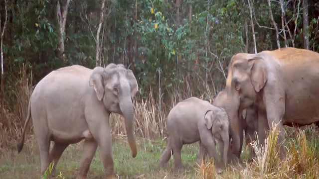 专家辟谣之前吃酒糟小象并没有喝醉:象群生活习性常超出想象