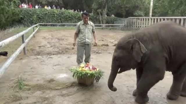 亚洲象端午节过生日收30斤粽子蛋糕,多次踢倒逗乐游客