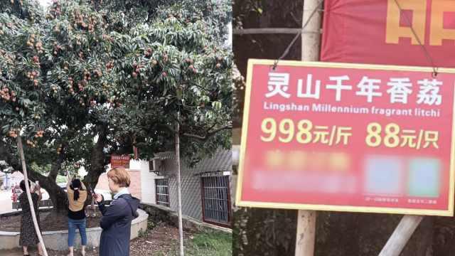 广西灵山1500年古荔枝再涨价!998元/斤,88元/只