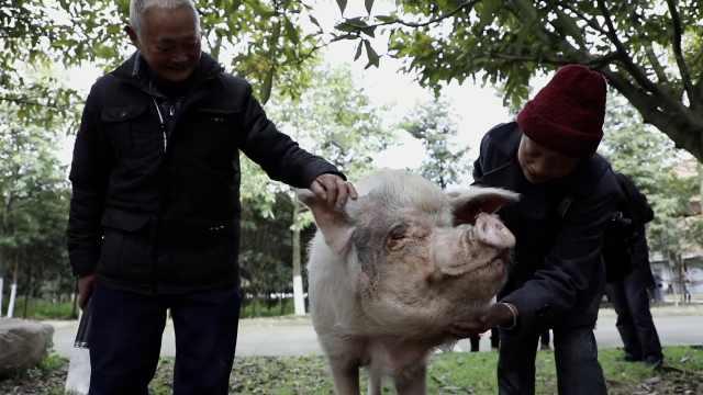 市民到猪坚强之家探望悼念,原主人希望多做一个标本留纪念