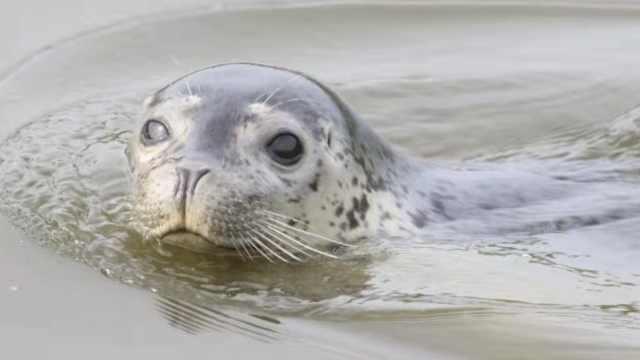 沈阳水域意外出现斑海豹,专家:可能追逐食物误入或被人弃养