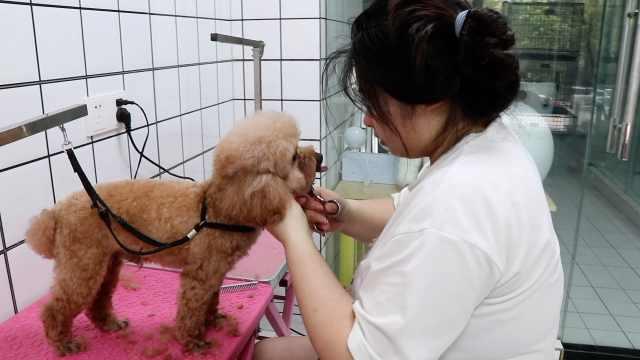 宠物美容师的一天:6年被咬伤无数次,曾两度被猫狗救命