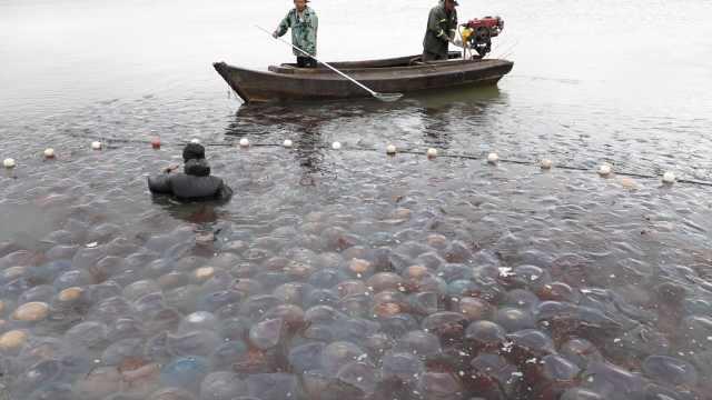 实拍丹东海蜇捕捞,一网产量上万斤,价格走高养殖户欣慰