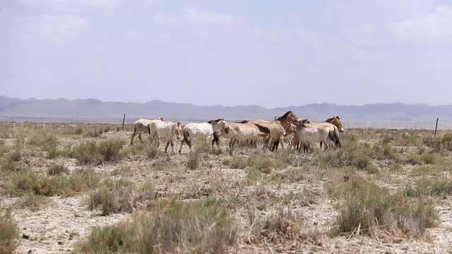 我国唯一极旱荒漠成普氏野马
