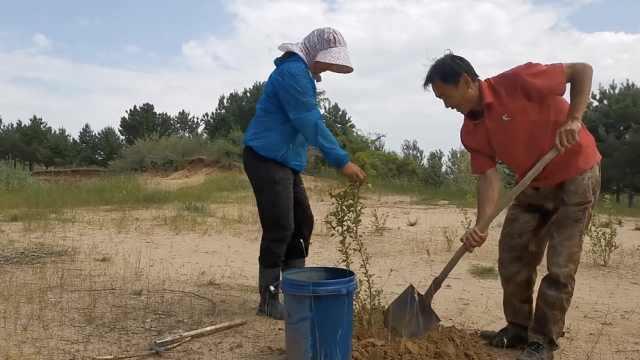 东北夫妻治沙20年让荒山变绿,每天往返家和沙地50里路