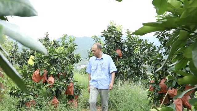 6旬老人退休回家种柚子:带领乡亲们在家门口致富