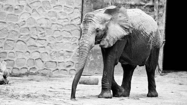 """河南17岁刚成年大象""""非非""""去世,骨架将做成标本"""