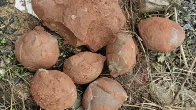 男子工地捡十余枚恐龙蛋与友分享,专家喊上交:千万年前种属