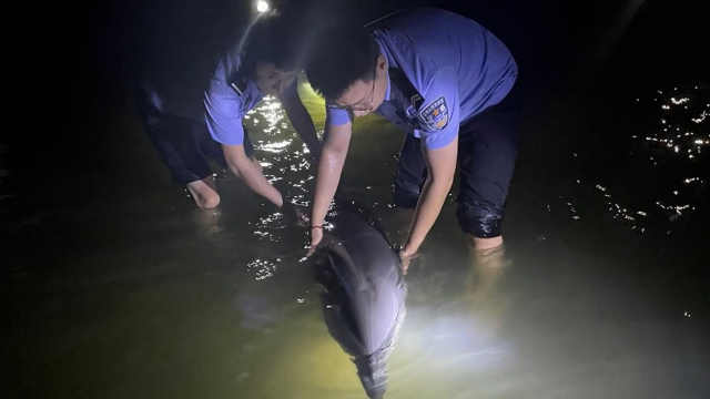 身体欠佳!这条海豚搁浅挣扎,被推向深海后又懂事地游回来