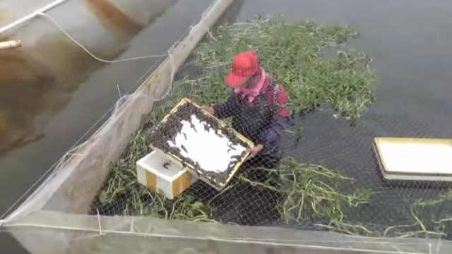 小伙创业养水蛭年入百万,为家乡10多名70岁老人提供工作
