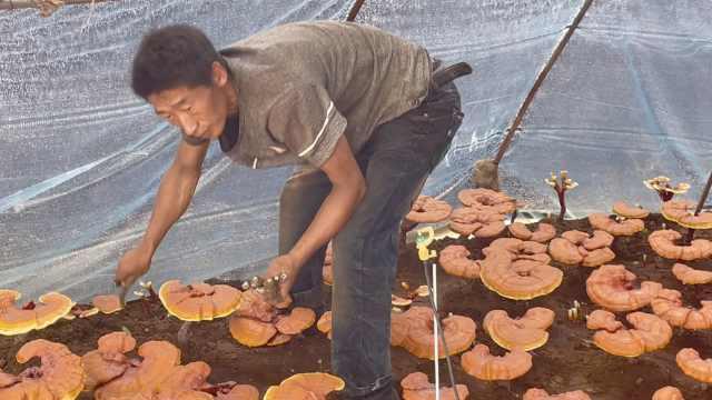 东北大哥专注农业26年,自学灵芝栽培1年多赚30万:不比进城差