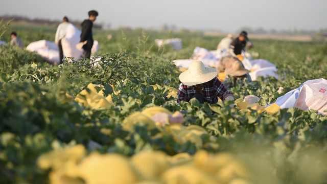 新疆哈密瓜熟了!实拍1500亩抢收现场,地里摘了3天到北上广