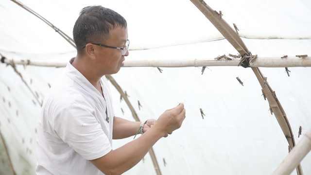 农民工返乡养60万只蚂蚱:卖给餐馆,每斤40元供不应求