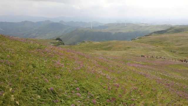 世界最大野生韭菜花带!贵州万亩韭菜花盛开,如置身紫色海洋