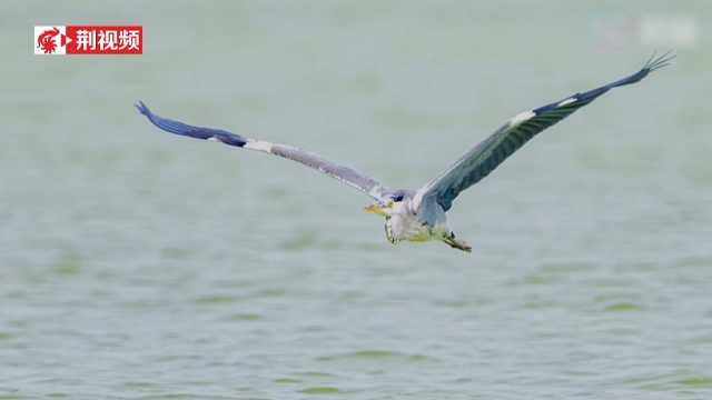 荆州的野鸭 比往年来的更多一些