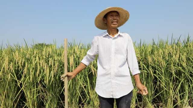 湖南这片田里有580个水稻品种,最高稻谷有2米,稻香可以定制