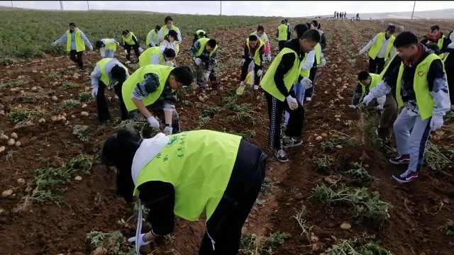 内蒙古百名高中生抢收20亩土豆:义务助农,锻炼吃苦耐劳意志