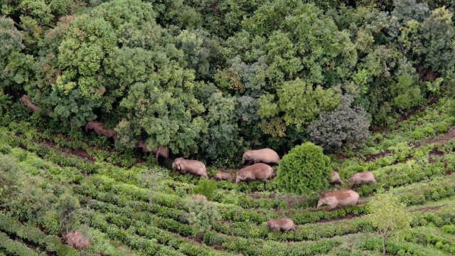 云南普洱为大象建374亩专属食堂,将1600多亩林地围成圈