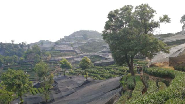 龙井茶园面临避暑难题或影响产量
