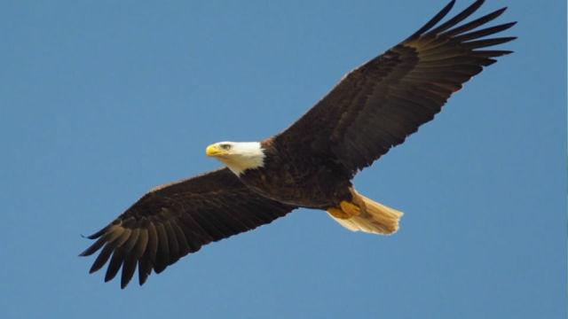 鹰和雕有什么区别?