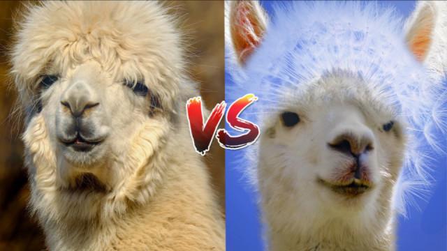 羊驼和驼羊,到底区别在哪?