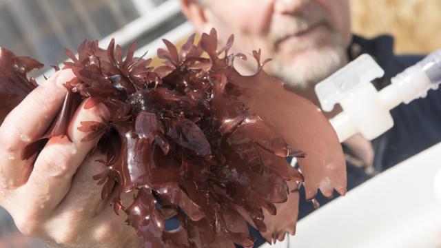 吃起来像培根的海藻,想尝尝吗?