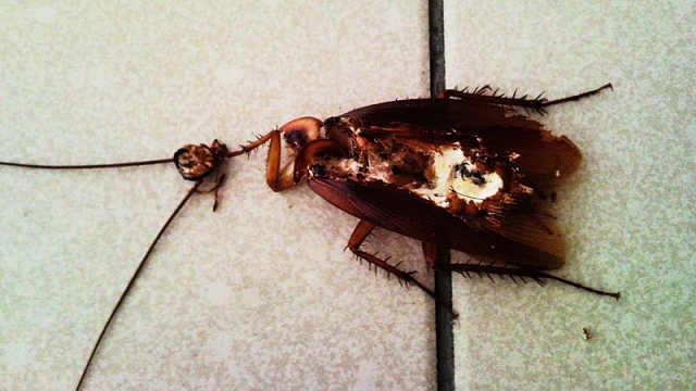 蟑螂没了头之后,还能存活多久?