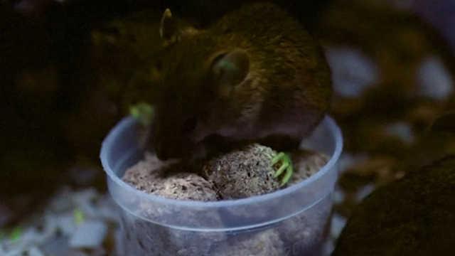 通过基因编辑让老鼠长出绿色的脚