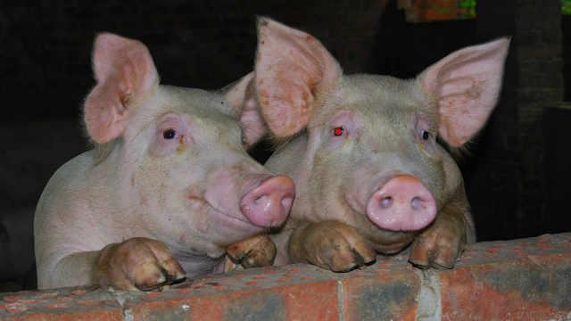 为什么猪没有灭绝?