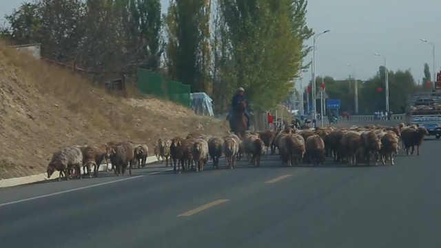 新疆高速路羊居然撒欢跑,吓人!