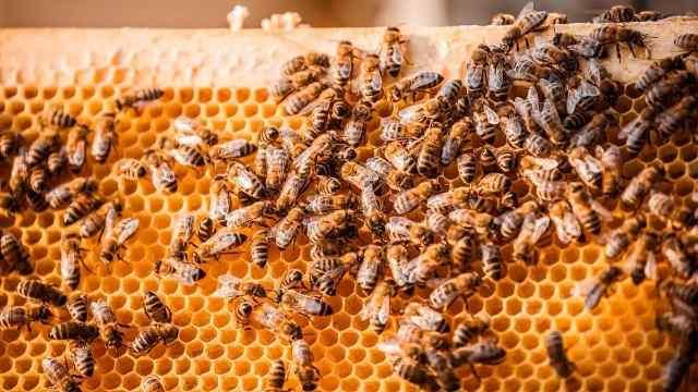 为啥蜜蜂一旦灭绝,人类活不过4年