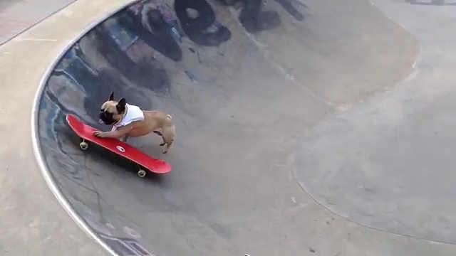 帅气的法斗,玩滑板贼溜