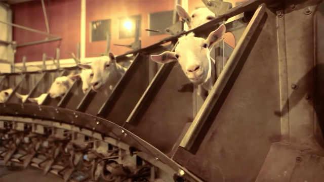 秋冬交替 羊奶粉可能比牛奶粉更好