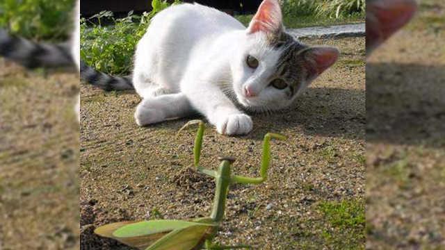 螳螂为什么不怕猫咪?你绝对想不到