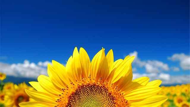 冰箱贴之梵高向日葵到底有几幅?