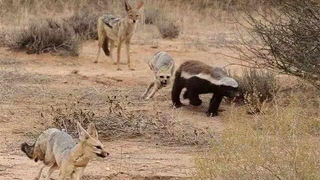 非洲鬣狗和蜜獾打架,到底谁会赢?