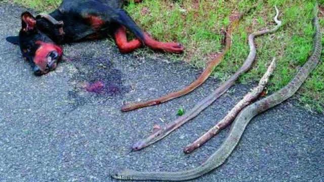 为什么狗狗拼了命也要保护主人?