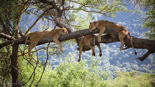 为什么苍蝇一多狮子就会集体上树?