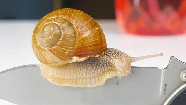 从锋利的刀口滑过,蜗牛会怎样?